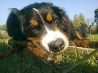 Heidi Bovaro Del Bernese mangia le crocchette Dogbauer