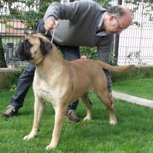 Bullmastiff-piazzato