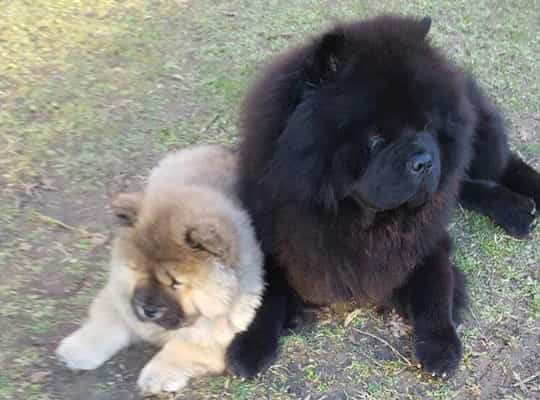 Chow Chow crocchette Dogbauer