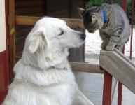 Pastore Maremmano e gatto