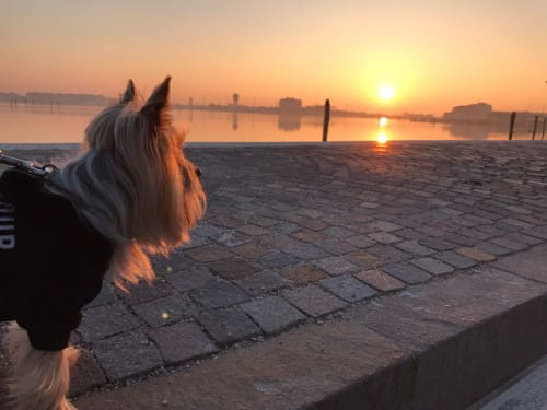 Yorkshire Terrier che guarda il tramonto