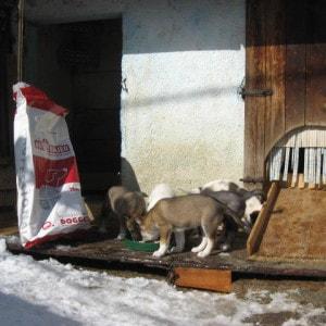 cuccioli-di-cane-siberian-husky