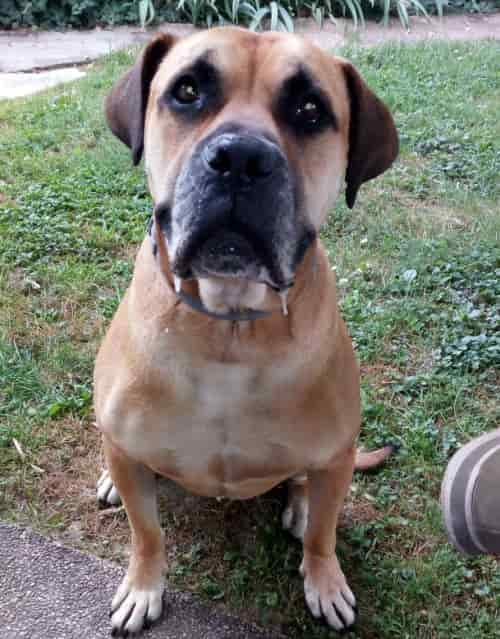 Cane incrocio Bullmastiff