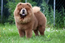 Cane-Chow-Chow-Fulvo