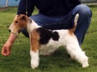 Fox-terrier-a-pelo-ruvido