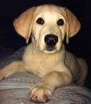 Labrador-Americano-Cucciola