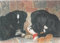 coppia di cani boxer