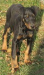 Doberman cucciola