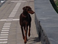 Dobermann-Femmina-Marrone