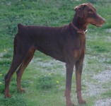 Cagna-Dobermann-Marrone