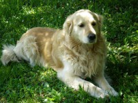 Golden Retriever Anziano