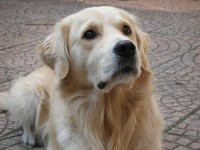 Golden Retriever miele