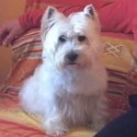 West Higland White Terrier (Westie)