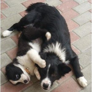 due border collie