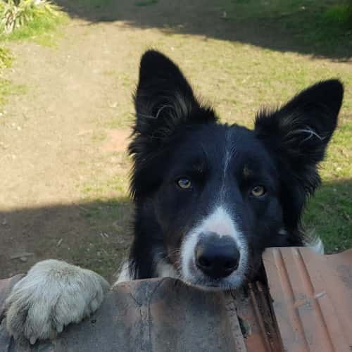 cucciolone Border Collie
