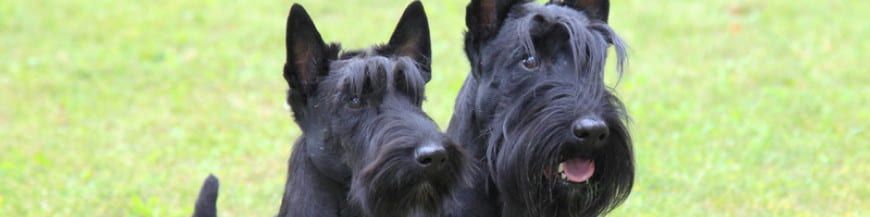 Alimentazione Scottish Terrier dogbauer immagine categoria